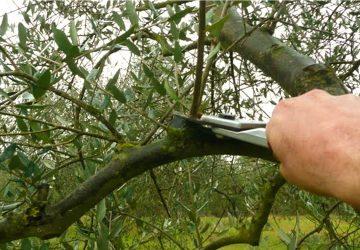 Motta Camastra: a lezione di potatura degli ulivi