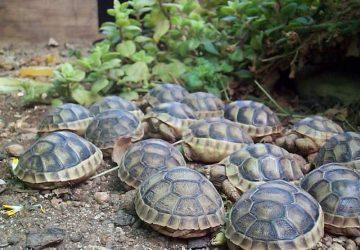 Zafferana, detenevano illegalmente a scopo di lucro tartarughe. Denunciati