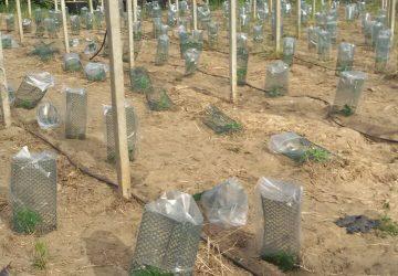 Catania, piantagione fai da te: una denuncia