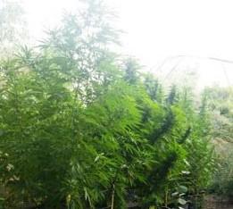 """Sequestrata a Belpasso una piantagione di cannabis """"skunk"""" da oltre 2 quintali. Arrestato 46enne"""