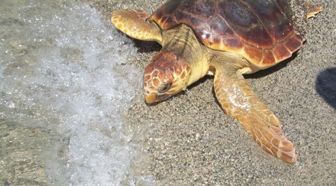 Catania sono tornate a nidificare le tartarughe marine for Tartarughe marine letargo