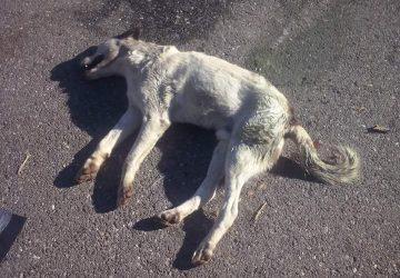 """Paternò: ancora cani avvelenati. """"Una strage che si compie nell'indifferenza del sindaco"""""""