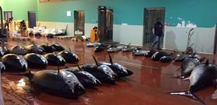 Riposto, nuovo imponente sequestro di tonno rosso VIDEO