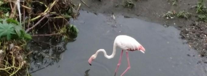 Fenicottero rosa adesso in salvo: era stato impallinato
