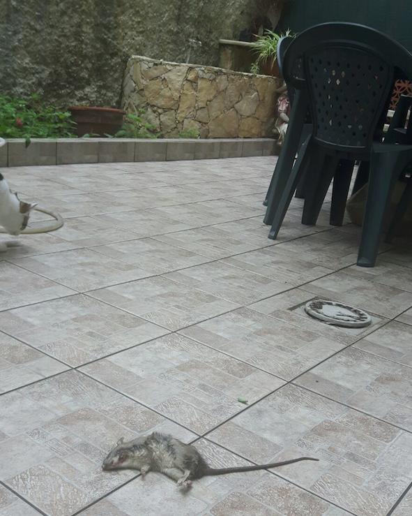 Giarre, topi a passeggio in via Gravina. Residenti esasperati VIDEO