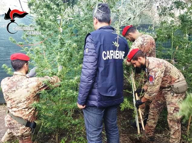 Adrano, scoperta piantagione di cannabis indica. Un arresto e tre denunce