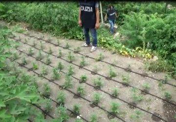Polizia scova due piantagioni di cannabis, un arresto