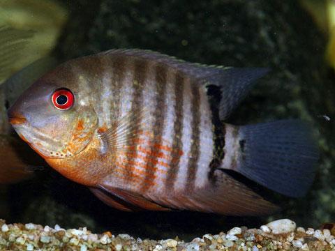 Ciclidi: i pesci che si credono mammiferi