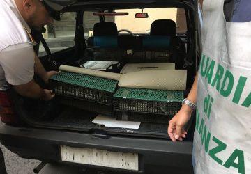 Misterbianco, Guardia di finanza sequestra a negoziante 110 cardellini selvatici