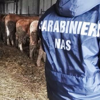 Mascali, nuovo sequestro di bovini e suini non tracciati in azienda di via Petralonga