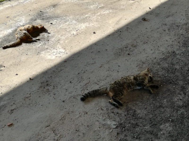 Giarre, moria di gatti alla pista di atletica. Colonia felina a rischio?