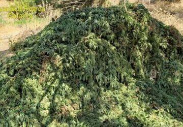 Scoperta maxi piantagione di cannabis: sequestrata droga per 20 milioni di euro VIDEO