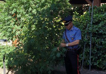 Belpasso, arrestato pregiudicato che coltivava marijuana nel giardino di casa.