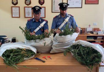 Oltre 10 Kg di marijuana in un casolare nelle campagne di Randazzo: tre arresti