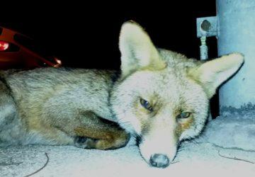 Mineo, cattura una volpe e poi la uccide: arrestato