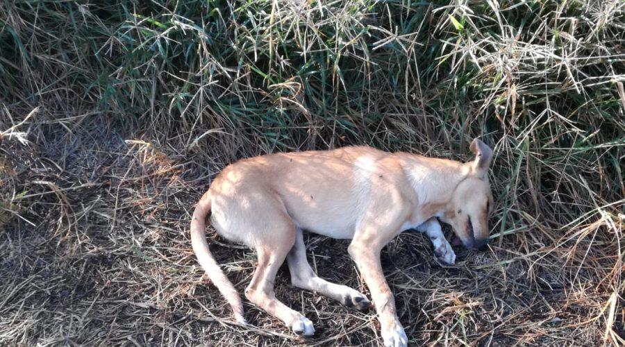 Avvelenati quasi 40 cani in meno di un mese. Così si risolve il randagismo… Vergogna