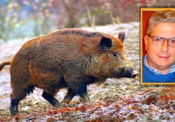 """Francavilla di Sicilia: agricoltori """"minacciati"""" dalle incursioni dei maiali selvatici"""