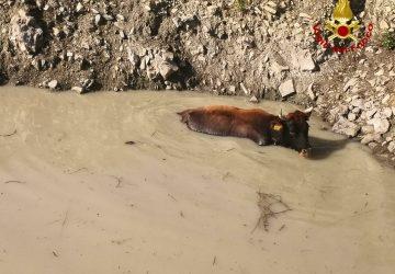 Randazzo, mucca rischia di affogare in un laghetto. Salvata dai vigili del fuoco