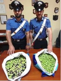 Motta S.Anastasia, furti nelle campagne: arrestato razziatore di olive