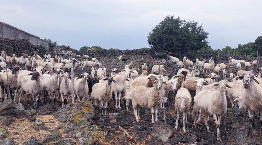 Linguaglossa, rubate 13 agnelline: scatta la solidarietà per difendere la tradizione della pastorizia
