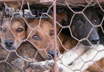 Trasporta 16 cani rinchiusi in gabbie strette per venderli abusivamente, denunciato