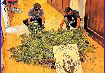 Una piantagione di marijuana nel cortile di casa: in manette 42enne VIDEO