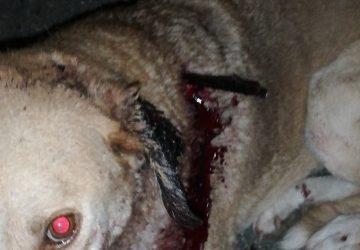 Cane meticcio ferito con la freccia di una balestra da caccia salvato dai veterinari dell'Asp