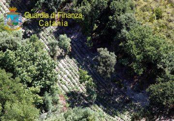 Scoperta piantagione di marijuana di 2.500 piante per un valore di oltre 2 milioni di euro