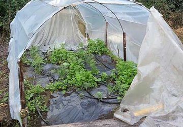 Acireale, coltiva in giardino canapa indiana: arrestato