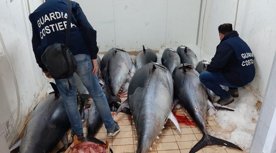 Guardia Costiera sequestra 1400 kg di Tonno rosso per un valore di circa 34.000 euro