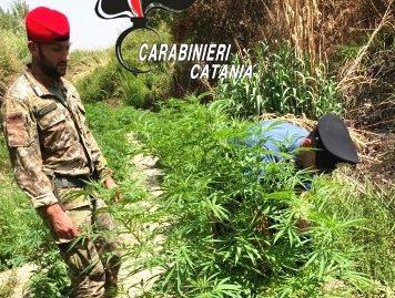 Sequestrata una piantagione di canapa indiana: coltivatore in manette