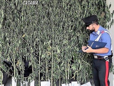 Acireale, sequestrata una piantagione di cannabis: insospettabile in manette